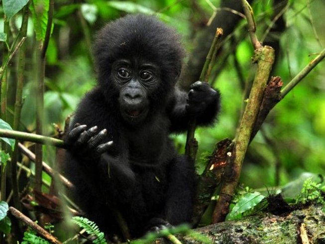 4 Days Budget Gorilla Safari in Uganda