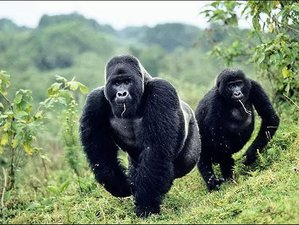 3 Days Bwindi Gorilla Tracking Safari in Uganda