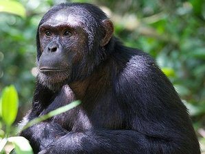 3 Days Chimpanzee Tracking in Kibale National Park  Safari Uganda