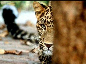 3 Day Big Cat Safari in Rajaji National Park