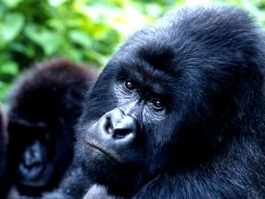 5 Days Gorilla Safari in Bwindi Impenetrable National Park, Uganda