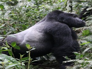 10 Days Great Apes Uganda Safari