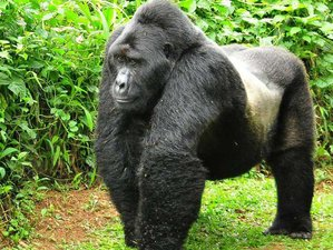 3 Days Gorilla Trekking Safari in Bwindi Impenetrable National Park, Uganda