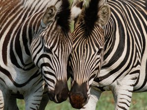 Destacado safari de 3 días en Timbavati, Sudáfrica