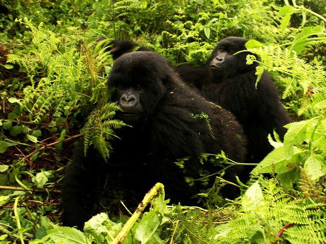 3 Days Bwindi Impenetrable National Park Gorilla Habituation Safari in Uganda