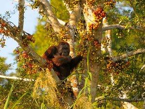 7 Day Kinabatangan River Cruise and Observe Adorable Orangutans in Sabah, Malaysia