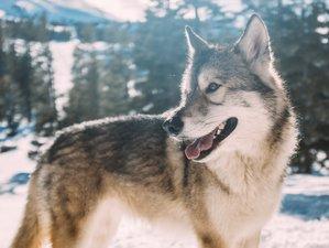 Wolf Tracking Safaris