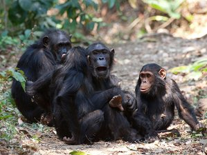 4 Days Chimpanzee Tracking Safari at Gombe Stream National Park, Tanzania