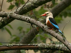 22 Days Birdwatching Safaris in Uganda