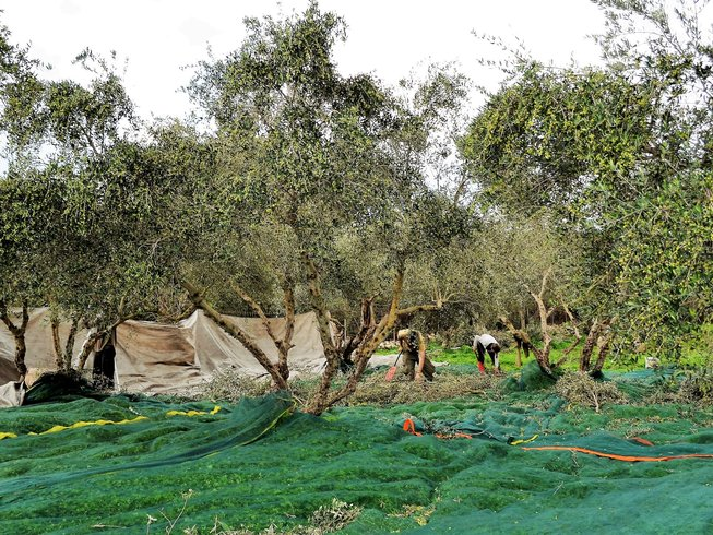 8 Days Culinary Holiday and Olive Harvest in Greece