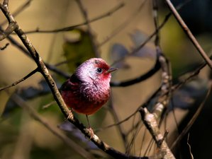 12 Day Endemic Birdwatching Tour in Guatemala
