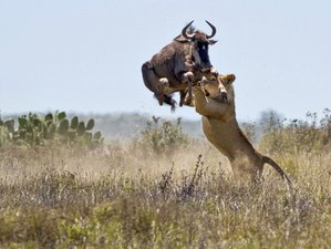 8 Days Migration Safari in Kenya