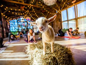 3 Days All-Inclusive Goat Yoga Retreat in New York, USA