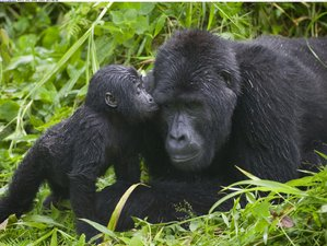 7 Days Gorilla and Chimpanzee Tracking Safari Tour in Uganda