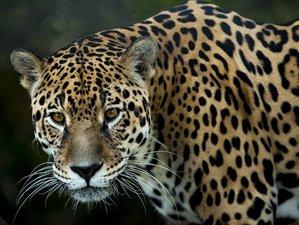 Safaris de jaguares