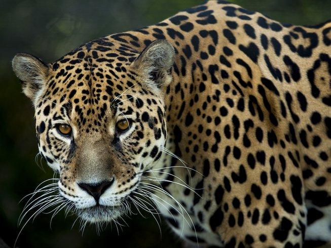 Jaguar Tours