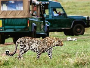 7 Days Amazing Big Five Safari Tour in Mara, Nakuru, Naivasha, and Amboseli, Kenya