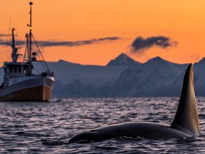8 Days Orca Whales Northern Safari in Norway