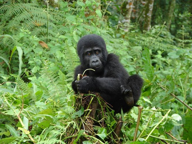 3 Days Gorilla Tracking Safari in Uganda