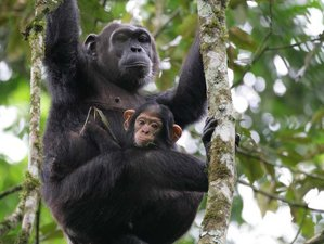 5 Days Chimpanzee and Gorilla Trekking Safari in Uganda