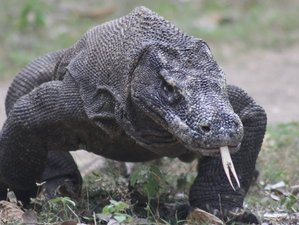 2 Day Komodo Dragon Wildlife Tour in Labuan Bajo, Flores