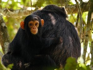 3 Days Chimpanzee Trekking Safari in Kibale National Park, Uganda