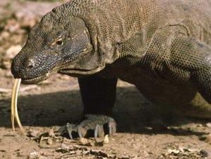 4 Day Komodo Adventure Wildlife Tour in Indonesia