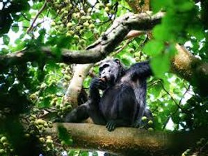3 Days Ultimate Chimpanzee Tracking Safari in Uganda