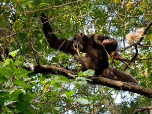 3 Days Chimpanzee Tracking Safari in Gombe Stream National Park, Tanzania