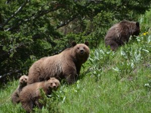 7 Day Grizzly and Black Bear Tracking on Horseback in South Chilcotin Mountains, British Columbia