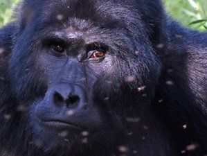 4 Days Gorilla Tracking in Bwindi Impenetrable National Park, Uganda