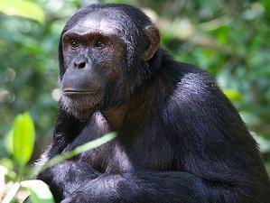 10 Days Chimp and Mountain Gorilla Trekking Safari in Uganda