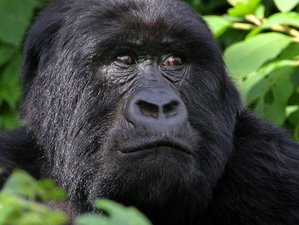 10 Days Wildlife Game Viewing and Gorilla & Chimpanzee Safari in Uganda