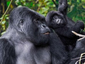 3 Days Gorilla Express Tour and Safari in Uganda