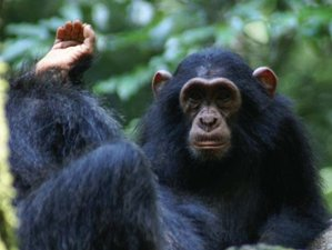 8 Days Primate Tour and Wildlife Safari in Uganda