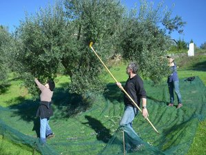 8 Day Olive Harvest Working Holiday in Passignano, Province of Perugia