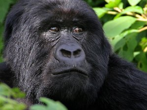 3 Days Mountain Gorilla Habituation in Bwindi Impenetrable National Park Uganda