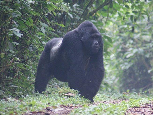 5 Days Gorilla and Chimp Habituation Safari in Uganda