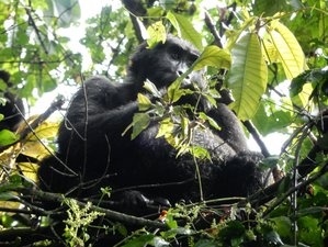 5 Days Fascinating Gorilla Safari Uganda