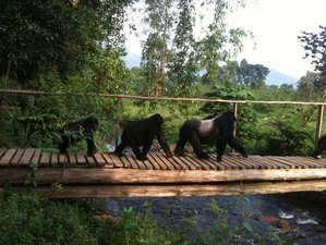 4 Days Gorilla Trekking Safari in Bwindi Impenetrable Forest, Uganda