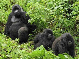 5 Days Gorilla and Chimpanzee Tracking Safari in Uganda