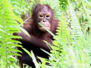 5 días de trekking de avistamiento de primates y orangutanes en Sandakan, Borneo, Malasia