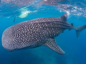 3 Days Whale Shark Encounter and Wildlife Tour in Cebu, Philippines