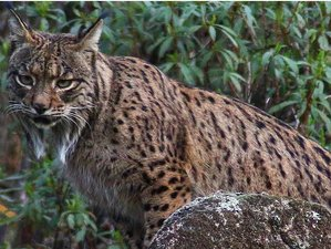 3 Day Iberian Lynx Wildlife Tour in Sierra Morena, Jaén