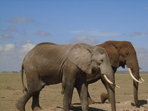 7 Days Best of Kenya Safari in Masai Mara, Lake Nakuru, Lake Naivasha, Amboseli