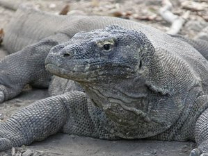 4 Days Komodo Dragon Wildlife Tour in Labuan Bajo, Indonesia