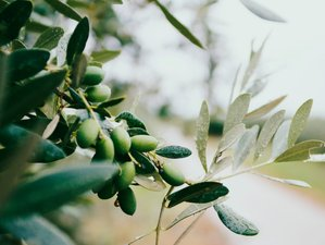 Olive picking and tasting