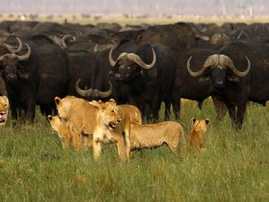 8 Days Lion Safari in Tanzania