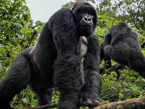 5 Days Flying to Bwindi and Queen Elizabeth National Park Safari in Uganda