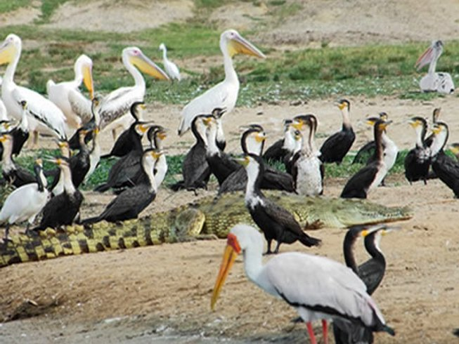 7 Days Ultimate Bird Watching Safaris in Uganda